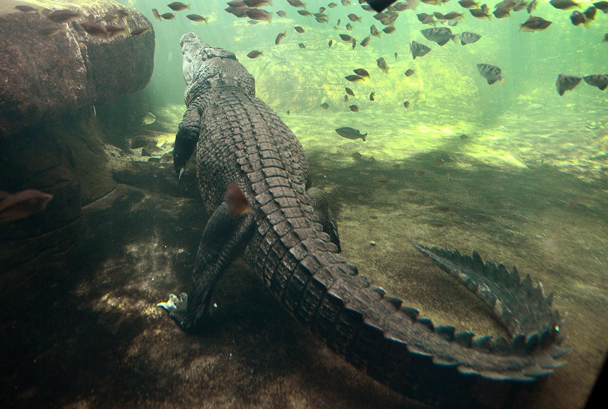 Baignade nocturne en Australie: une femme happée par un crocodile