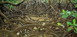 Un projet valorisant la mangrove en Nouvelle-Calédonie primé