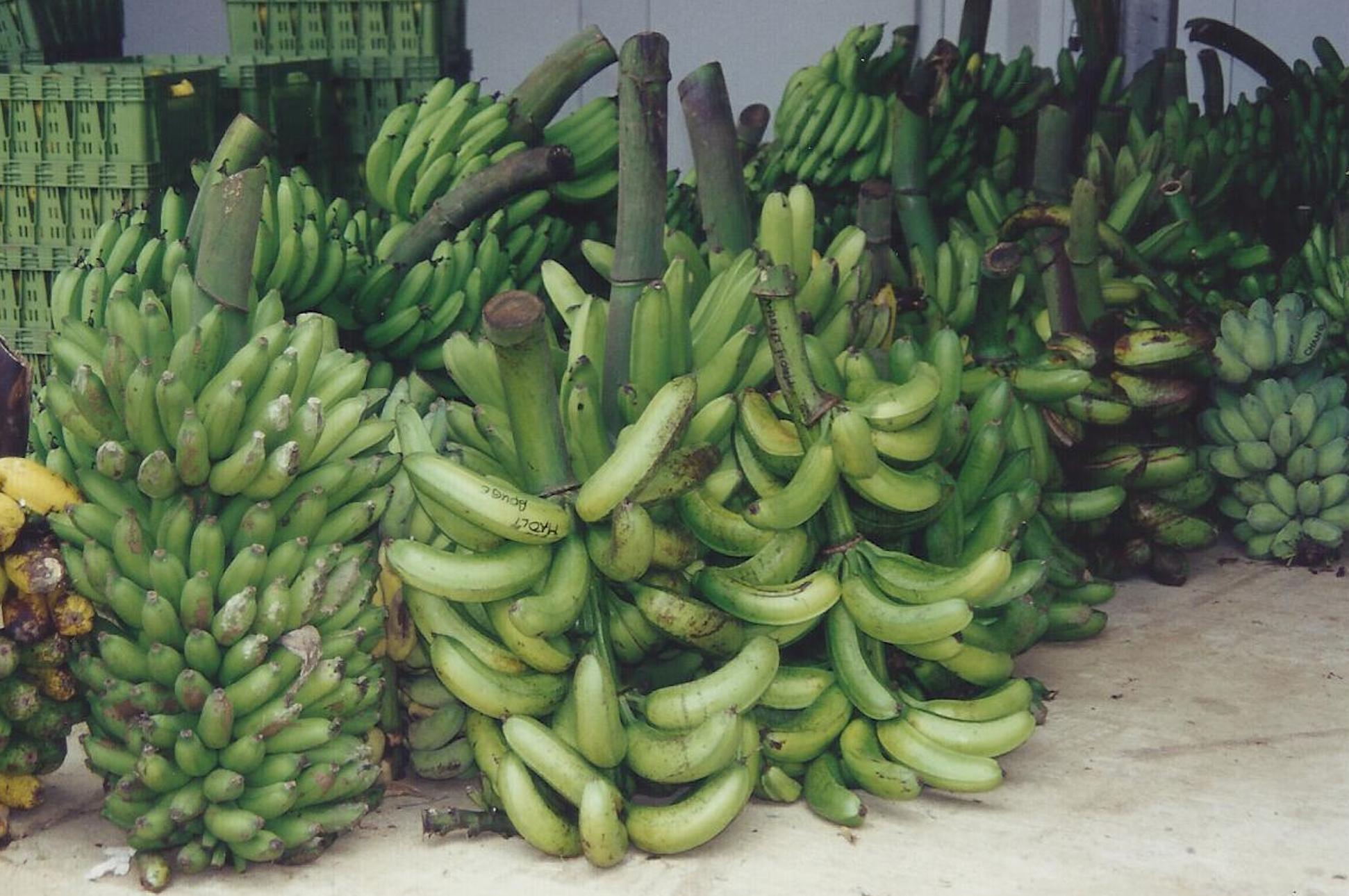 2- Les bananiers plantain du Pacifique sud présentent une grande variété de formes.