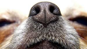 En Haute-Vienne, le flair des chiens pour dépister des cancers du sein