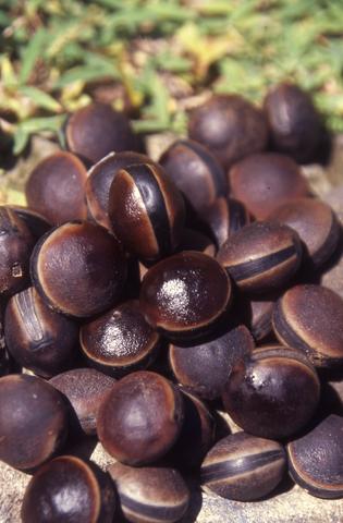 """Mucuna urens est une puissante liane ; Max Radiguet en surnomme la graine """"œil-de-bourrique"""", son nom usuel étant aujourd'hui """"œil-de-bœuf"""" (autou en marquisien)."""