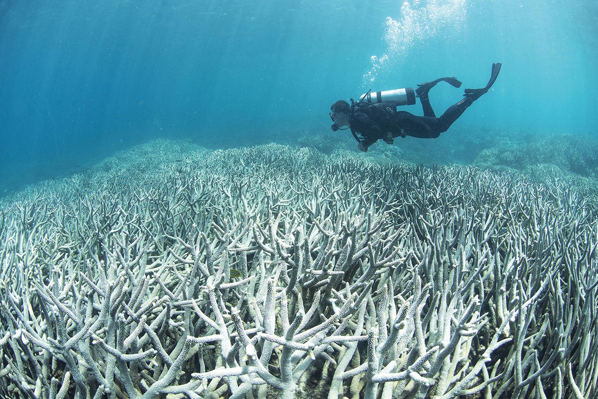 Le blanchissement des récifs coralliens se poursuit sans répit