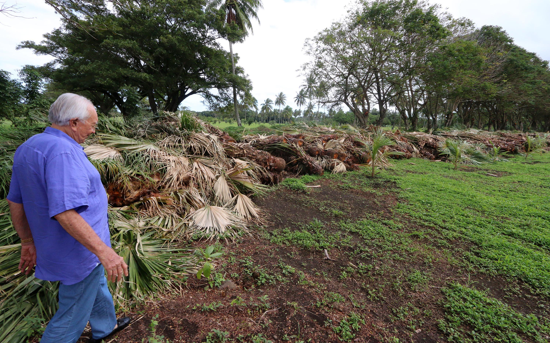 Atimaono: Des centaines de palmiers arrachés