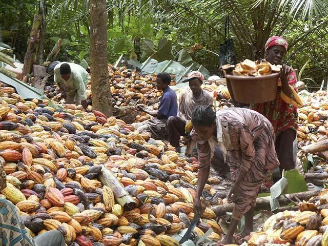 En Côte d'Ivoire, des chenilles dévastent des milliers d'hectares de cacao