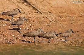 Partenariat rare entre des oiseaux sauvages et les humains pour trouver de la nourriture