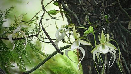 en floride des scientifiques veulent sauver les orchid es fant mes. Black Bedroom Furniture Sets. Home Design Ideas