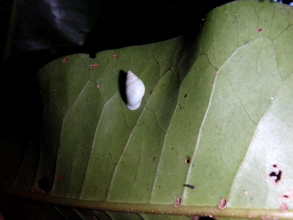 Cet escargot blanc plus petit qu'une pièce de 10 Fcfp a résisté à l'invasion d'un terrible prédateur. Son secret est l'objet d'une enquête scientifique très high tech... (Un Partula hyalina dans la vallée Matatia. Photo : Trevor Coote)