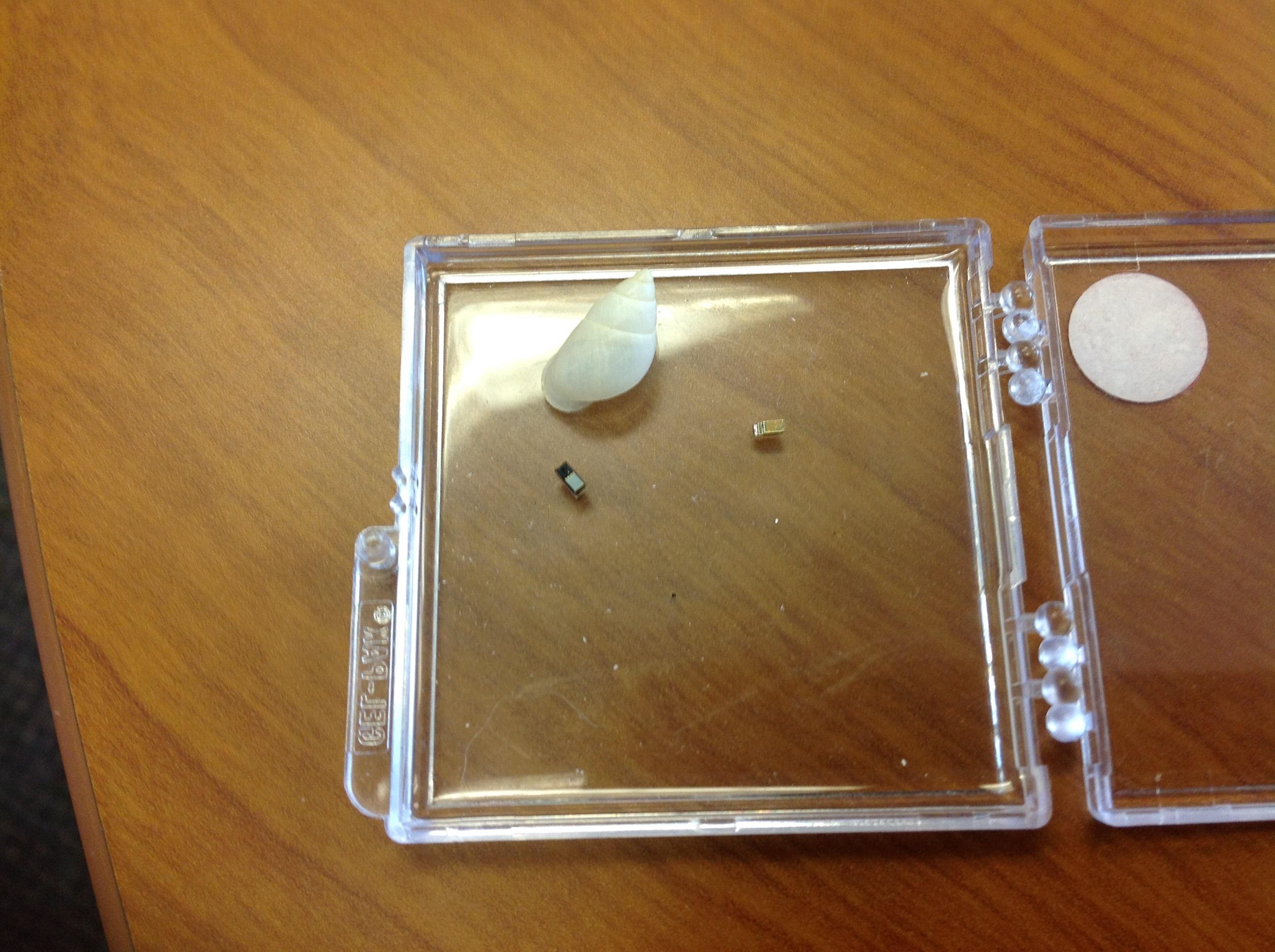 Ces mini-détecteurs de lumière, en photo à côté d'une carapace de Partula hyalina, vont permettre à Cindy Bick de tester son hypothèse de réfugiés solaires (photo : Dr Diarmaid Ó Foighil)
