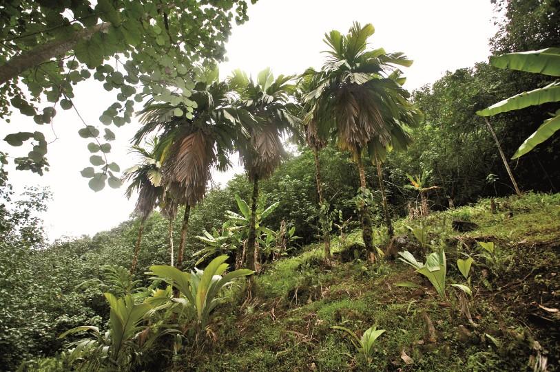 Les derniers enu sauvages au fin fond de la vallée de Taipivai. Il n'en reste plus qu'une douzaine de spécimens ; c'est dire si cette dernière colonie est fragile…