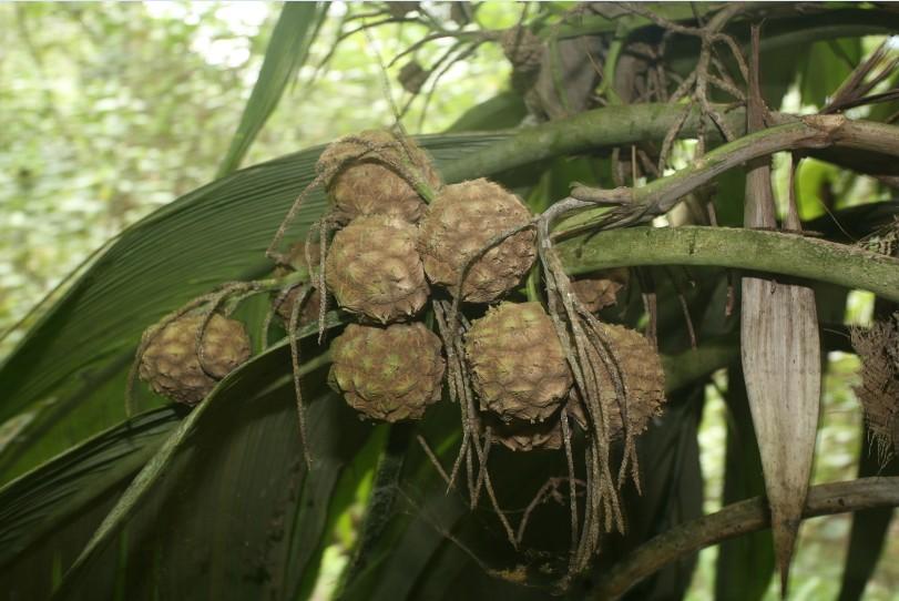 Le enu produit des fruits tout au long de l'année. Les anciens se souviennent qu'en période de disette, ils étaient parfois consommés.
