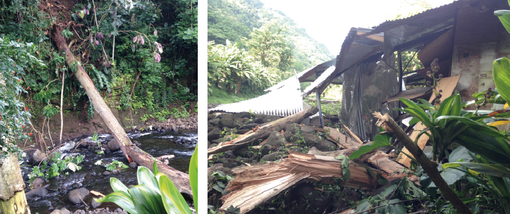Un gros arbre s'est effondré lundi après-midi sur la toiture de la famille Utia à Ahonu