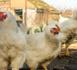 Grippe aviaire: sept foyers confirmés au total dans le Tarn