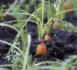Canada: une précieuse bague perdue retrouvée autour d'une carotte