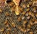 Gelées, froid et maintenant canicule: la récolte de miel en totale déconfiture