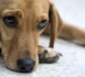 Premier procès devant un tribunal en Amérique Latine d'un chien victime de maltraitance