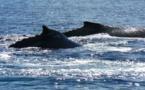 Un baleineau sauvé après avoir été coincé dans la passe de Tautira