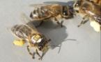 Déclin des pollinisateurs sauvages exposés aux pesticides néonicotinoïdes