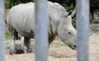 Afrique du Sud: un Chinois arrêté avec dix cornes de rhinocéros