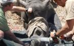 700 rhinocéros vont être décornés au Zimbabwe pour lutter contre le braconnage