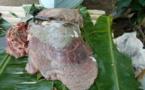 Un pêcheur de tortue verte condamné par le tribunal