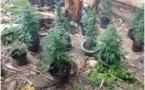 La DSP saisit 95 plants de pakalolo