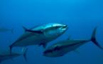 """""""La pêche excessive du thon est un enjeu aussi bien écologique qu'économique"""" (J. Petit)"""