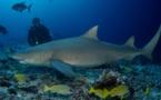 L'impact du shark-feeding sur les requins étudié