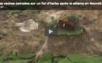 Insolite : trois vaches coincées sur un îlot de terre après le séisme en Nouvelle-Zélande ( VIDEO)