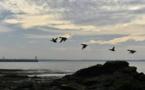 Une flambée de grippe aviaire liée aux oiseaux migrateurs (OIE)