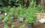 89 pieds de paka et 20 litres de komo découverts à Mangareva