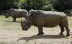 Après le vol de Thoiry, le parc animalier de Peaugres pourrait écorner ses rhinocéros
