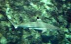Les requins ont aussi leurs réseaux sociaux