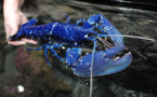 Un homard d'un bleu très rare rejoint Océanopolis à Brest
