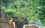 Presqu'île : Un trafic de pakalolo à 110 millions de francs à la barre