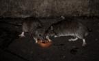 Des milliers de rats envahissent des villages en Birmanie