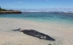 Un baleineau s'échoue sur une plage de Rimatara