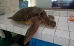 Pêche illégale de tortues à Moorea, deux braconniers chez les gendarmes