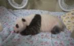 Le petit panda né au Japon passe le cap d'un mois en bonne santé
