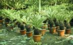 Carnet de voyage - Ce palmier pourrait rendre son vrai visage à Rapa Nui