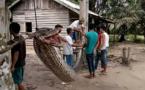 Indonésie: un python attaque un homme, il finit en friture