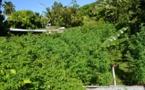 Plus de 1 600 plants de cannabis découverts à Tahiti, aux Tuamotu et aux Raromatai