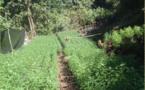 4 629 pieds de cannabis découverts à Papara