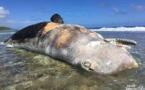 Un cachalot de 20 tonnes échoué en Polynésie