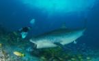 Shark Feeding de requin tigre - L'image qui rappelle la réalité MAJ