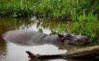 """Mexique: la longue traque de """"Tyson"""", l'hippopotame vagabond"""