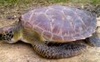 La Clinique des tortues de Moorea déplore une nouvelle victime