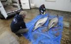 Pêche: des répulsifs acoustiques pour empêcher la capture accidentelle de dauphins