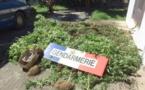 Les gendarmes ont détruit 136 plants de cannabis à Huahine et 287 à Papara