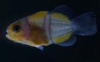 Elucider le mystère des bandes blanches des poissons-clowns