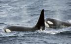 Des orques vues à Fakarava et Bora Bora : attention aux baleines qui vont dans les lagons pour se protéger